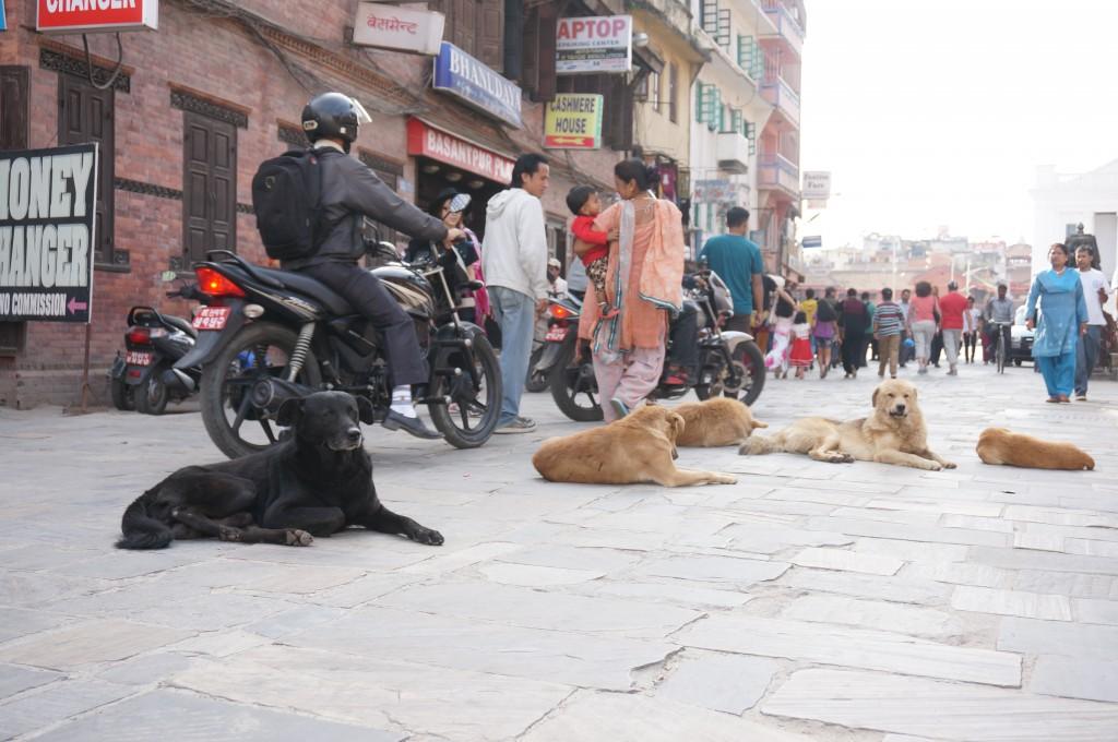 Au Népal, les chiens sont rois...